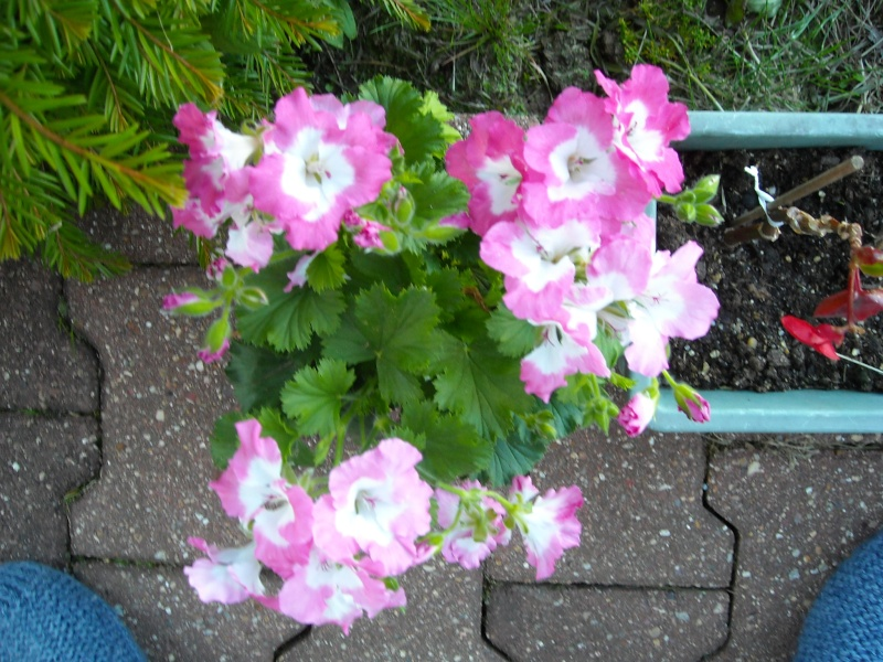 pélargonium bermuda pink Pelarg10