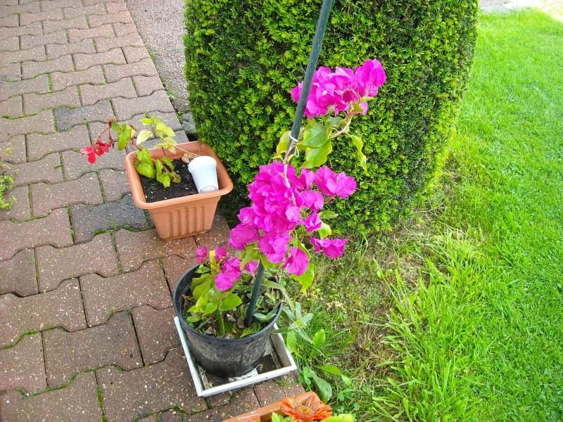 bourgainvillier Plante14