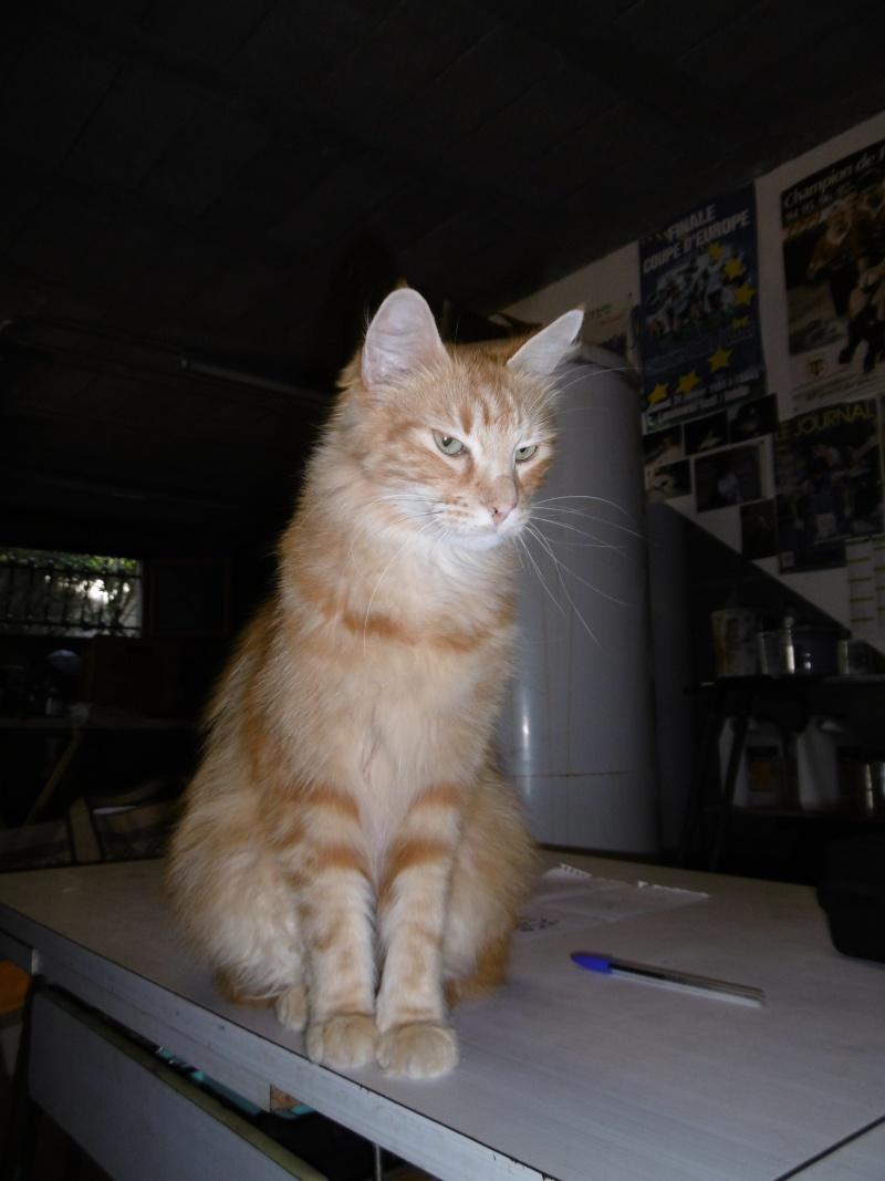 Trouvé chat roux poils mi-longs à Colomiers P1000512