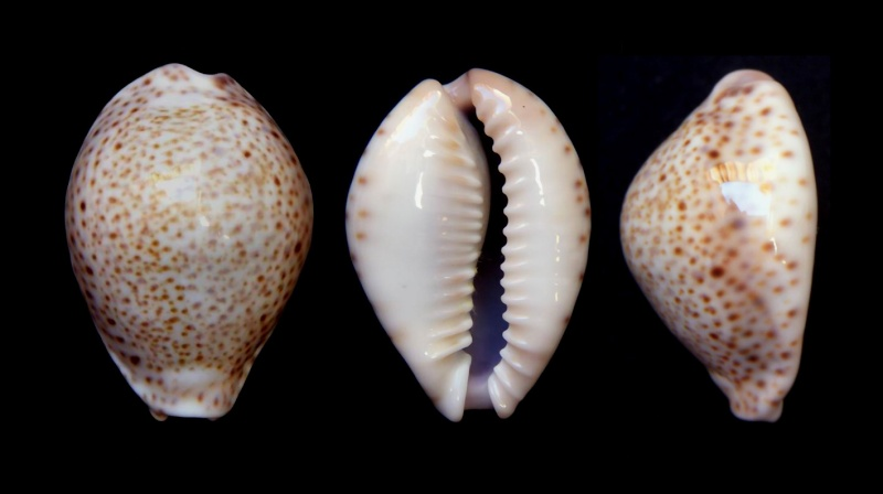 Naria turdus - (Lamarck, 1810) - Page 3 12120310