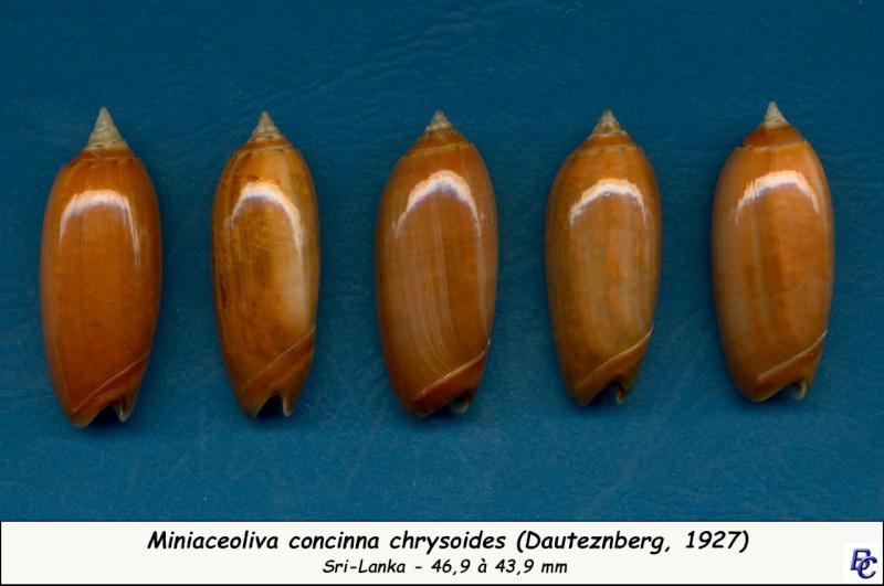 Miniaceoliva concinna f. kremerorum (Petuch & Sargent, 1986) accepted as Miniaceoliva concinna (Marrat, 1870) Concin22