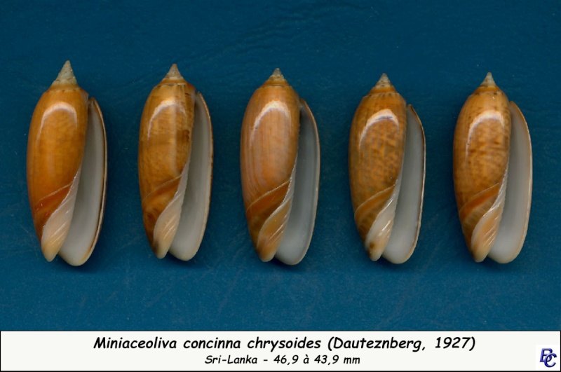 Miniaceoliva concinna f. kremerorum (Petuch & Sargent, 1986) accepted as Miniaceoliva concinna (Marrat, 1870) Concin23
