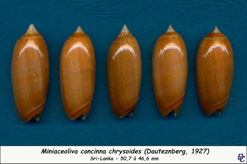 Miniaceoliva concinna f. kremerorum (Petuch & Sargent, 1986) accepted as Miniaceoliva concinna (Marrat, 1870) Concin24
