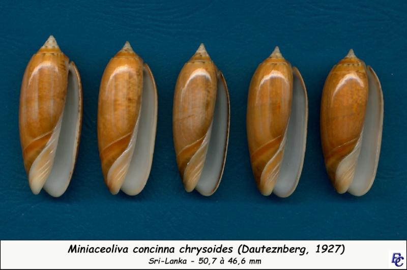 Miniaceoliva concinna f. kremerorum (Petuch & Sargent, 1986) accepted as Miniaceoliva concinna (Marrat, 1870) Concin25