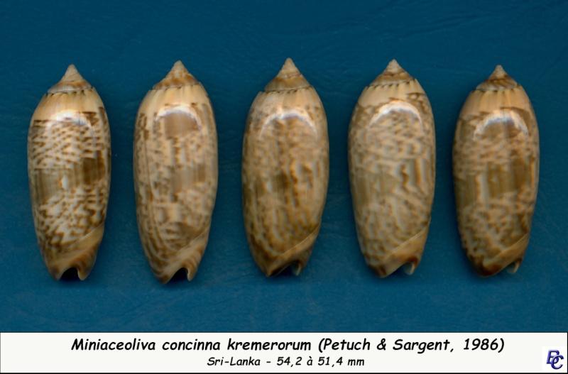 Miniaceoliva concinna f. kremerorum (Petuch & Sargent, 1986) accepted as Miniaceoliva concinna (Marrat, 1870) Concin28