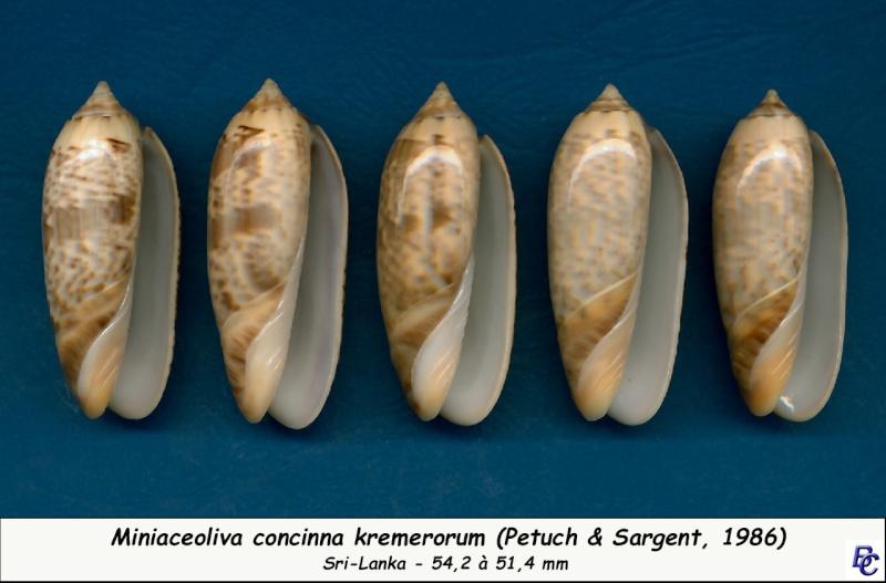 Miniaceoliva concinna f. kremerorum (Petuch & Sargent, 1986) accepted as Miniaceoliva concinna (Marrat, 1870) Concin30