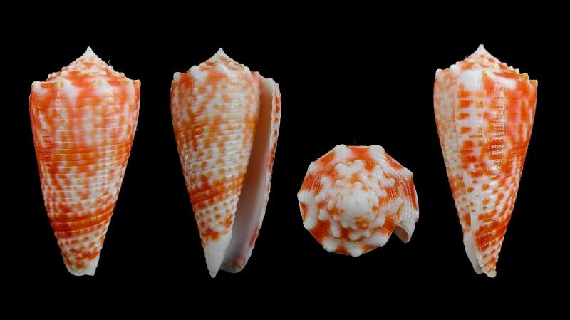 Conus (Phasmoconus) marielae  Rehder & Wilson, 1975 Conus_10