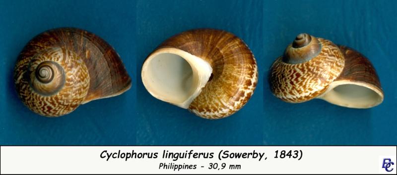 Cyclophorus linguiferus (Sowerby, 1886) Cyclop10
