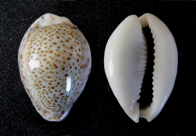 Naria turdus - (Lamarck, 1810) Cyprae10