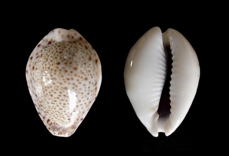 Naria turdus - (Lamarck, 1810) Dsc06310