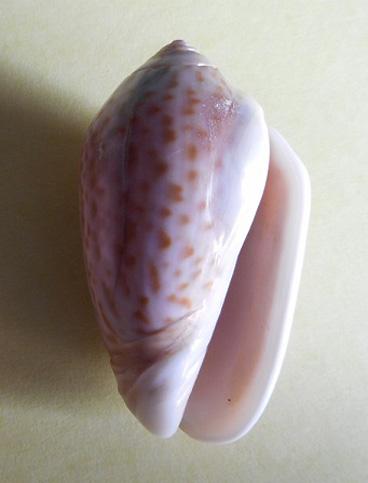 Americoliva peruviana f. coniformis (Philippi, 1848) accepted as Americoliva peruviana (Lamarck, 1811) Dscn1711