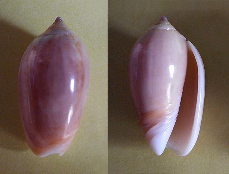 Americoliva peruviana f. livida (Johnson, 1911) voir Americoliva peruviana (Lamarck, 1811) Dscn1712