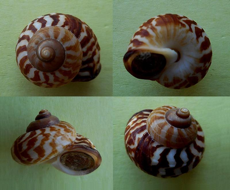 Cyclophorus tigrinus (Sowerby, 1847) Dscn3211