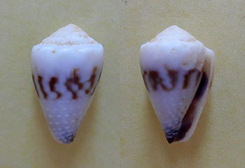 Harmoniconus sponsalis (Hwass in Bruguiere,1792) Dscn4310