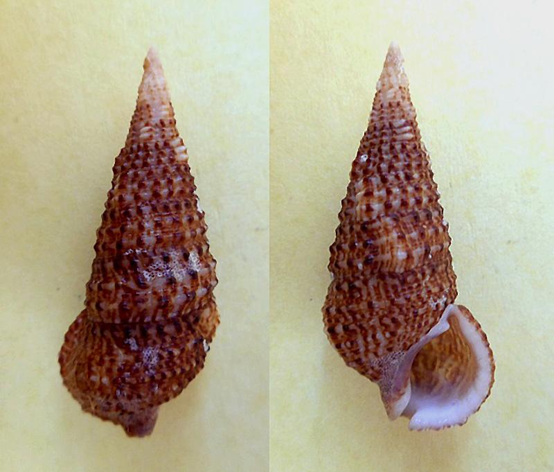 Cerithium traillii - G. B. Sowerby II, 1855 Dscn5616