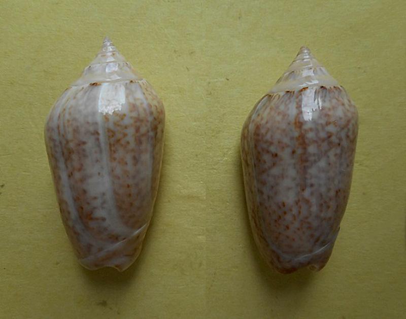 Americoliva subangulata subangulata (Philippi, 1848) Dscn5712