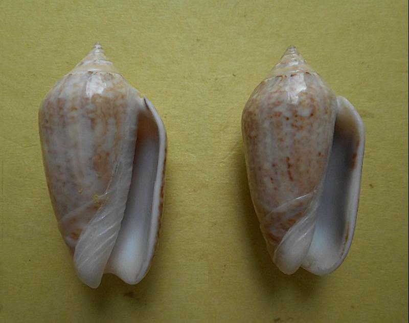Americoliva subangulata subangulata (Philippi, 1848) Dscn5713