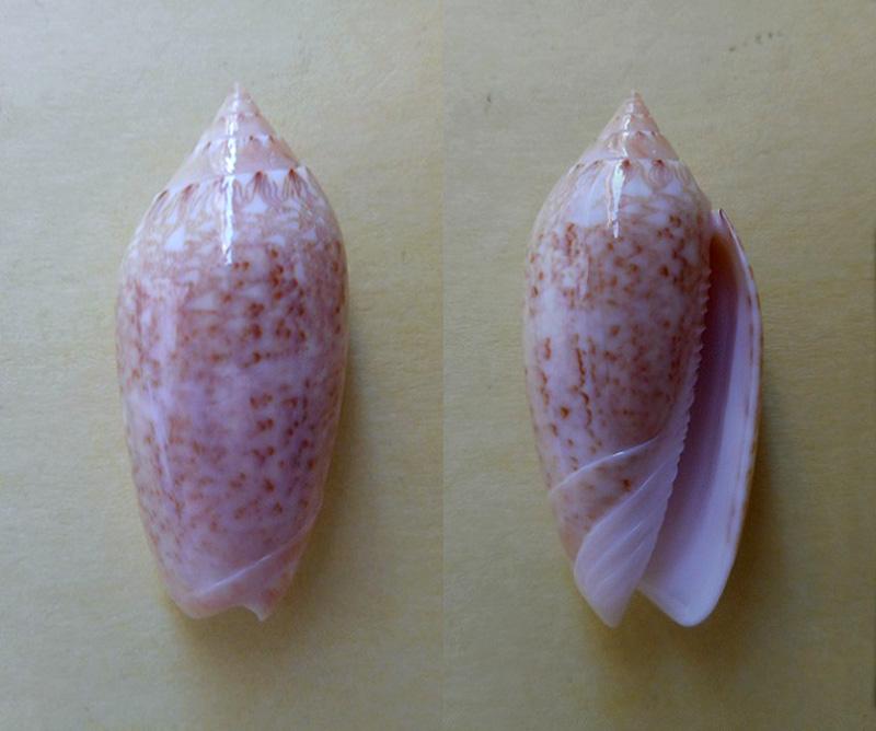 Americoliva spicata spicata (Röding, 1798) - Worms = Oliva spicata (Röding, 1798) Dscn5810