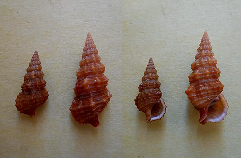 Cerithium columna - G. B. Sowerby I, 1834 Dscn6010
