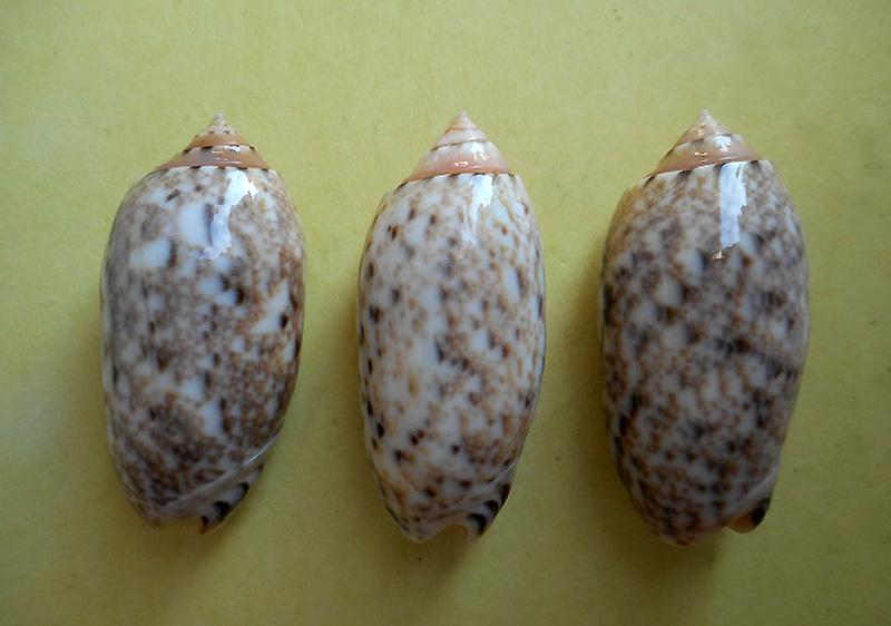 Annulatoliva mantichora (Duclos, 1840) - Worms = Oliva mantichora Duclos, 1840 Dscn6015