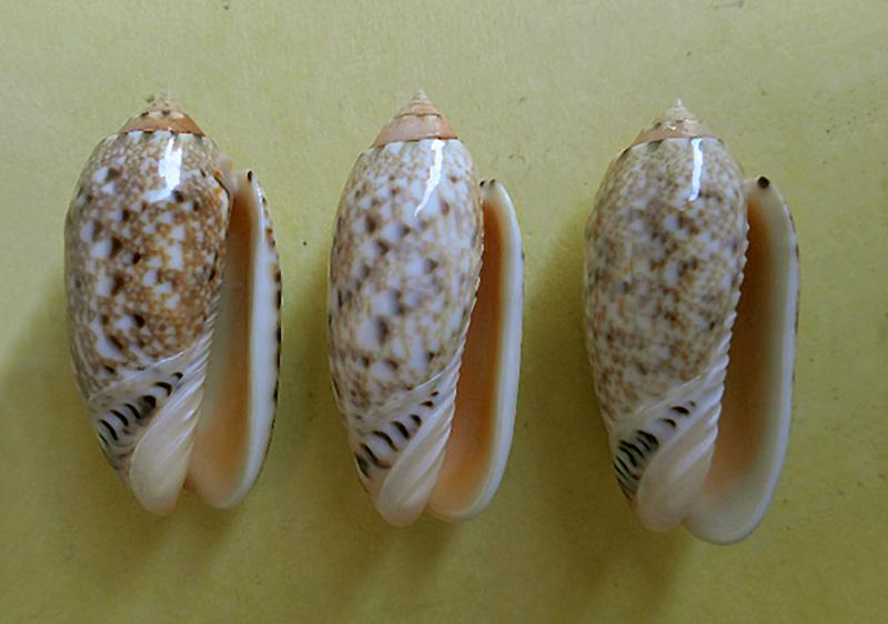 Annulatoliva mantichora (Duclos, 1840) - Worms = Oliva mantichora Duclos, 1840 Dscn6016
