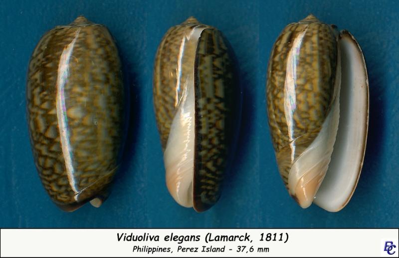Viduoliva elegans (Lamarck, 1811) Elegan10
