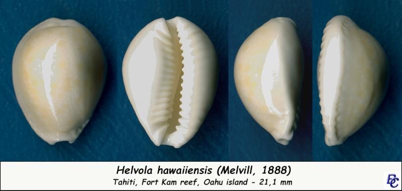 Naria helvola hawaiiensis - (Melvill, 1888) Helvol11
