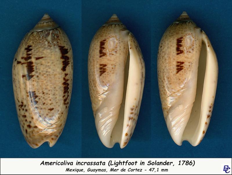 Americoliva incrassata (Lightfoot in Solander, 1786) Incras12