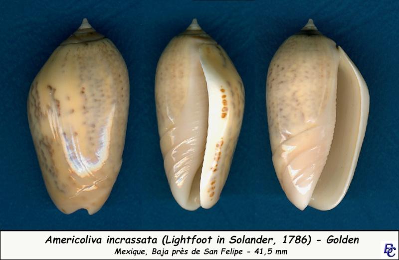 Americoliva incrassata burchorum (Zeigler, 1969) - Worms = Americoliva incrassata (Lightfoot in Solander, 1786) - Page 2 Incras13