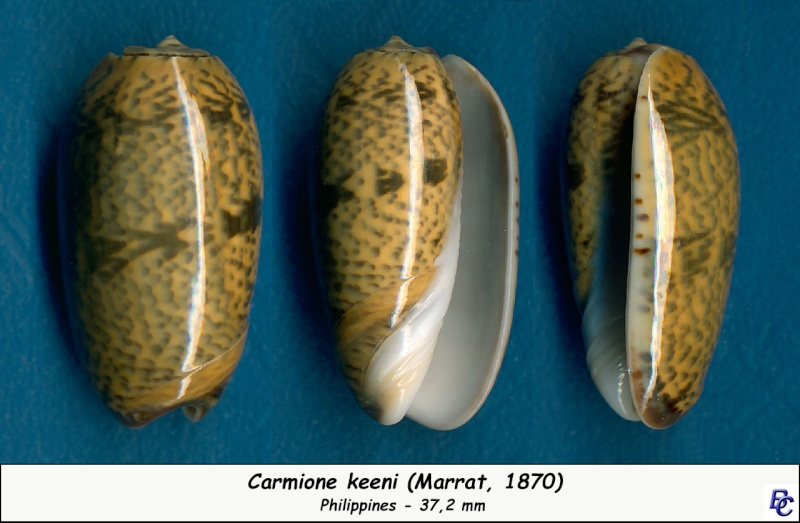 Carmione keeni (Marrat, 1870) - Worms = Oliva keenii Marrat, 1870 Keeni_11