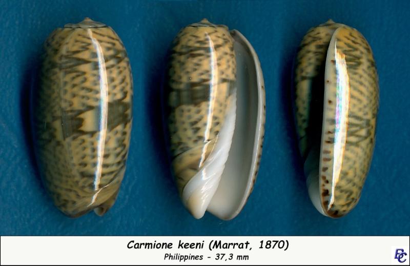 Carmione keeni (Marrat, 1870) - Worms = Oliva keenii Marrat, 1870 Keeni_12