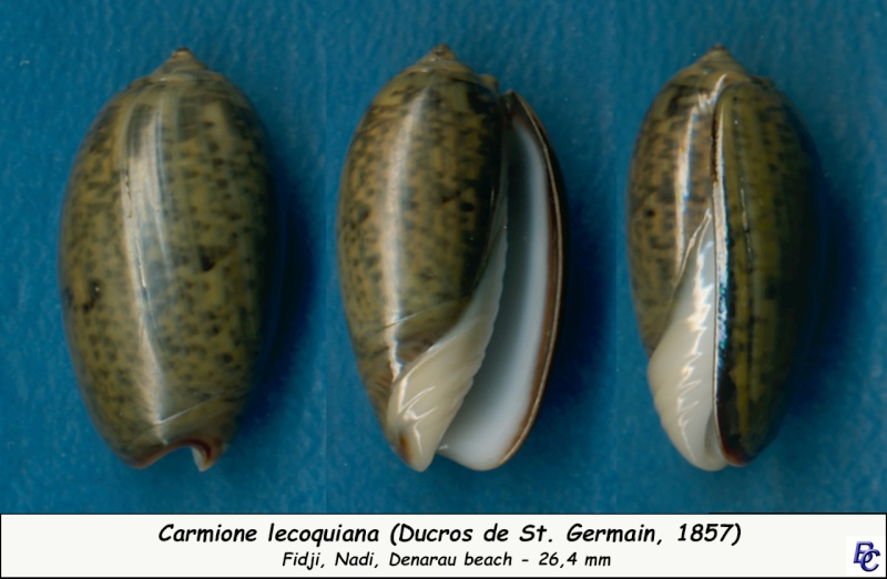 Carmione lecoquiana (Ducros de St Germain, 1857) - Worms = Oliva lecoquiana Ducros de Saint Germain, 1857 Lecoqu10