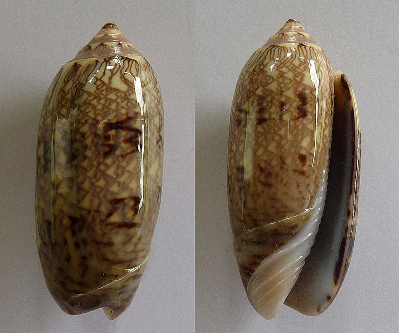 Americoliva circinata circinata (Marrat, 1871) Oliva_42