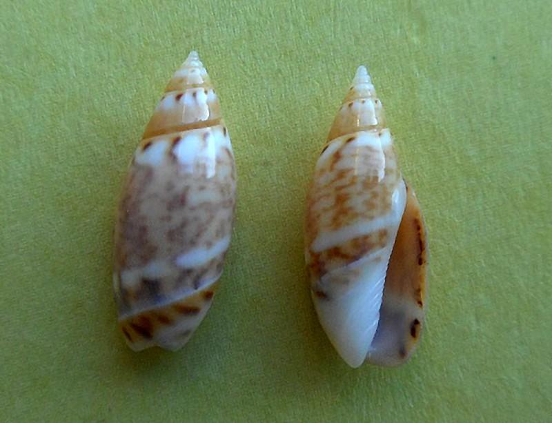 Olivella pulchella - (Duclos, 1835) Olivel10