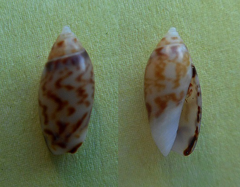 Olivella pulchella oteroi - Bermejo, 1979 Olivel11