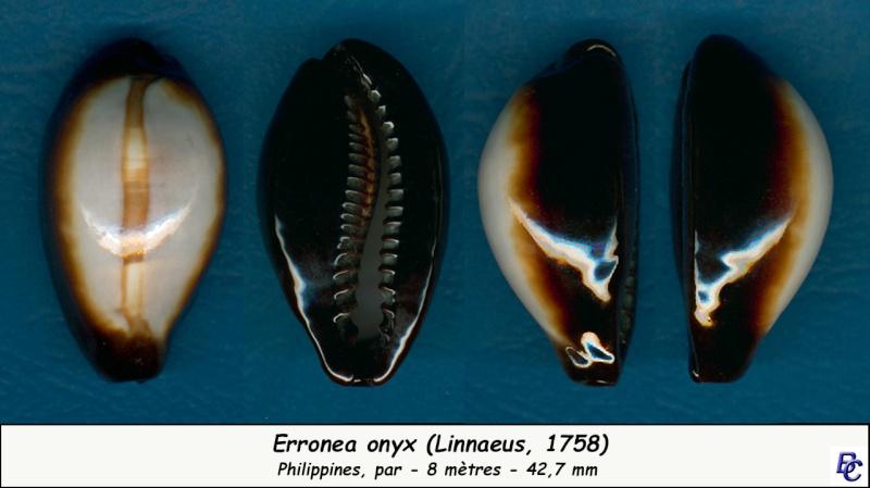 Erronea onyx onyx - (Linnaeus, 1758) - Page 2 Onyx_410