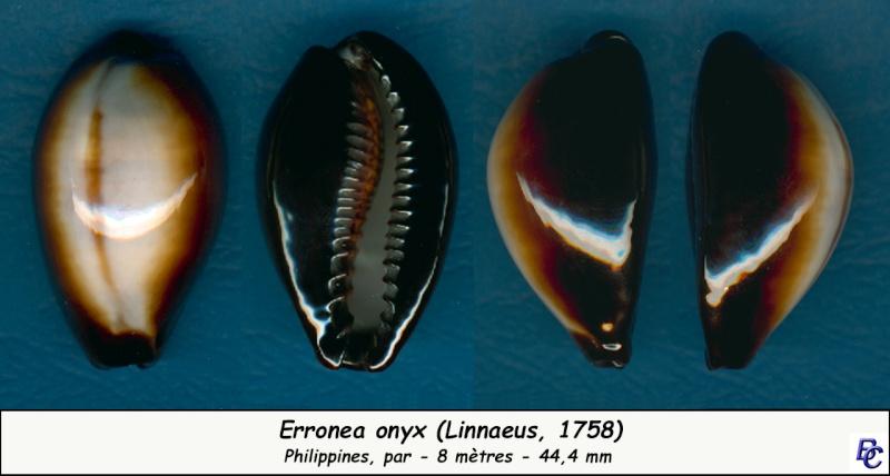 Erronea onyx onyx - (Linnaeus, 1758) - Page 2 Onyx_411