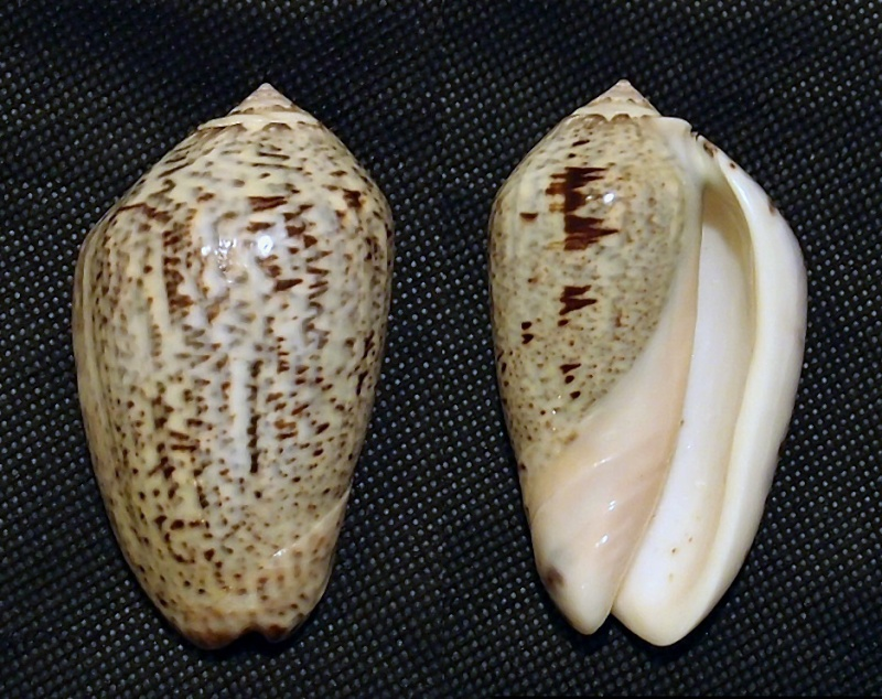 Americoliva incrassata (Lightfoot in Solander, 1786) P6233410