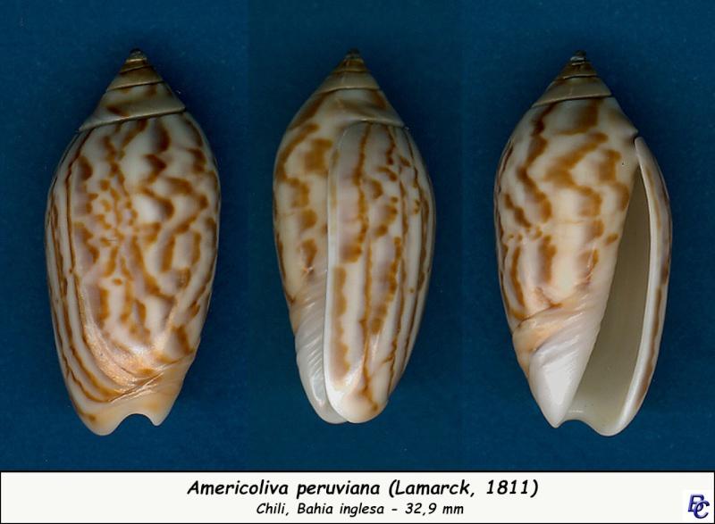 Americoliva peruviana (Lamarck, 1811) Peruvi10