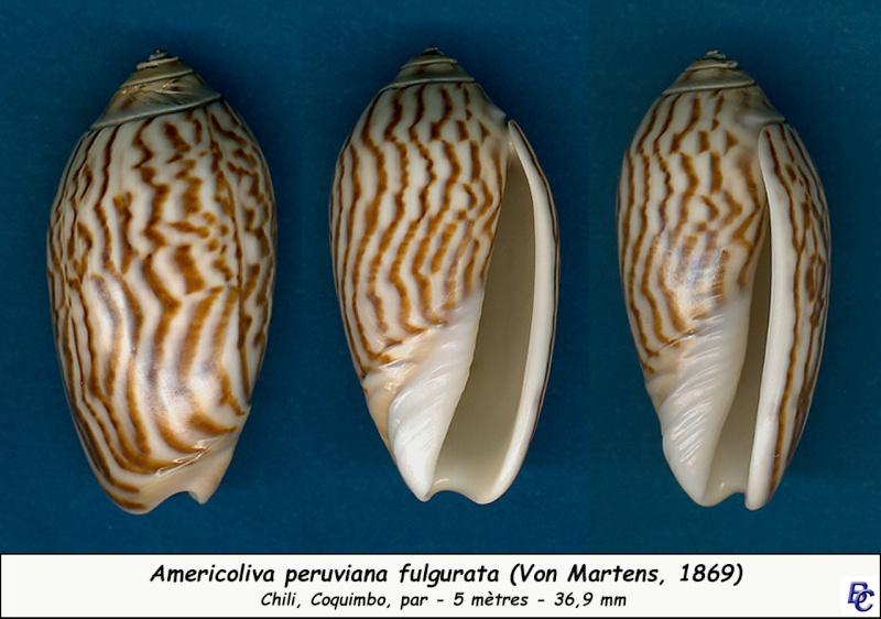 Americoliva peruviana f. fulgurata ((Von Martens, 1869) accepted as Americoliva peruviana (Lamarck, 1811)  Peruvi12