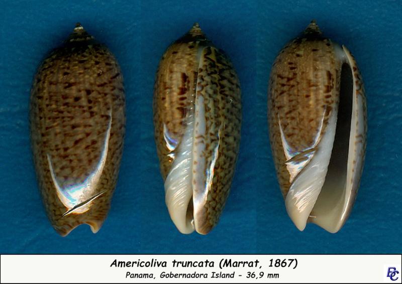 Americoliva truncata (Marrat, 1867) Trunca10