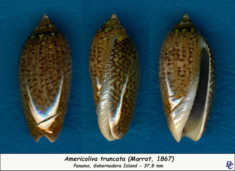 Americoliva truncata (Marrat, 1867) Trunca11