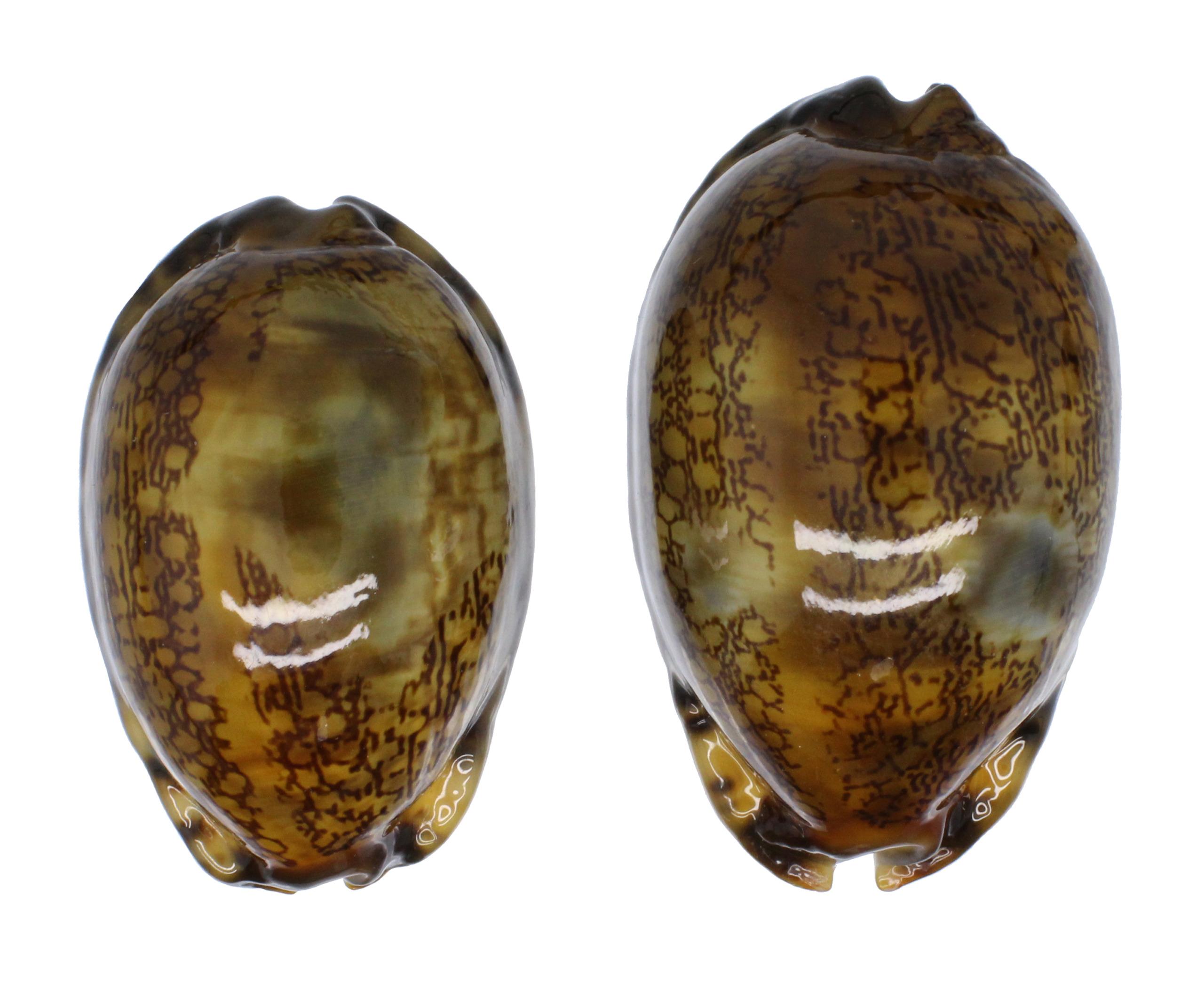 Arabica amethystea (Linnaeus, 1758).... Arabic10