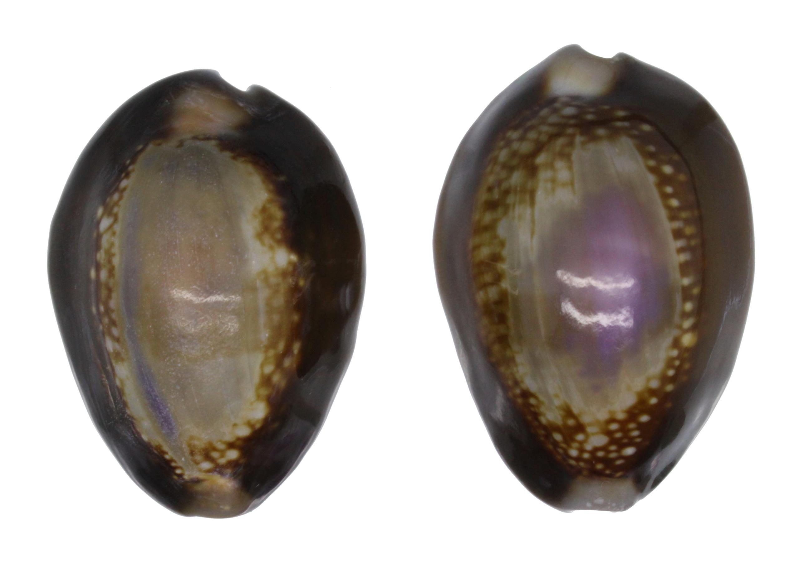 Arabica amethystea (Linnaeus, 1758).... Caputs10