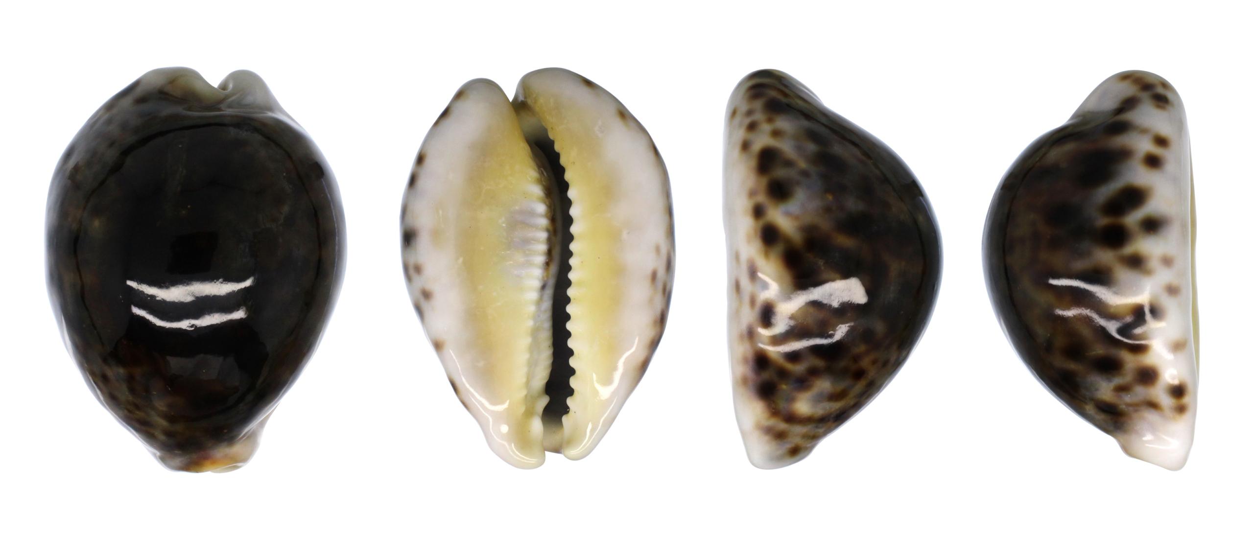 Arabica amethystea (Linnaeus, 1758).... Tigris12