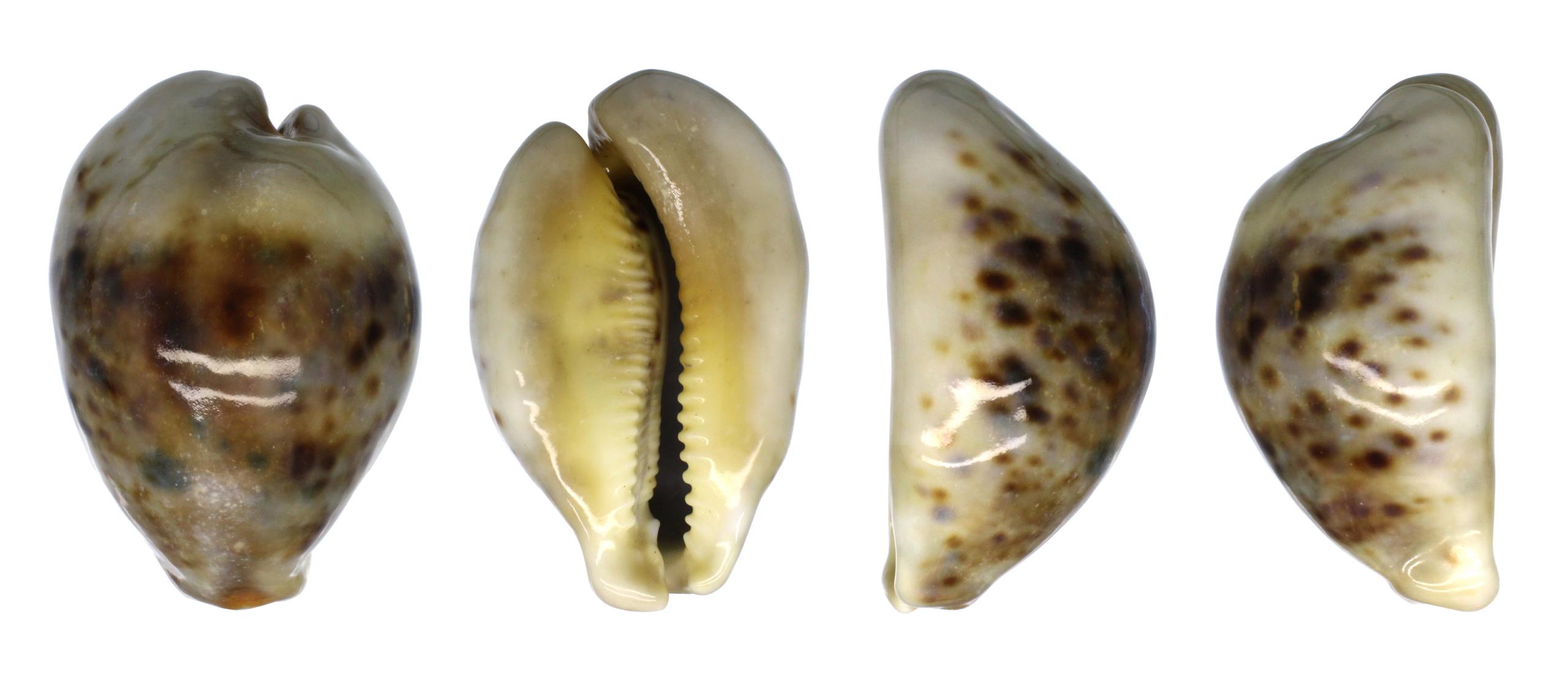 Arabica amethystea (Linnaeus, 1758).... Tigris13