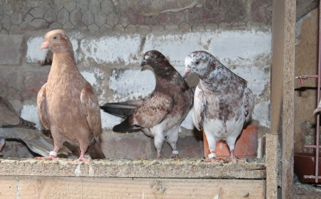 Mes pigeons - Page 2 Img_6617