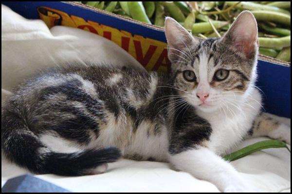 PISTACHE chaton à l'adoption 11416810