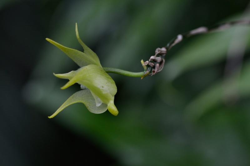 Aeranthes arachnites retardataire Aerant13