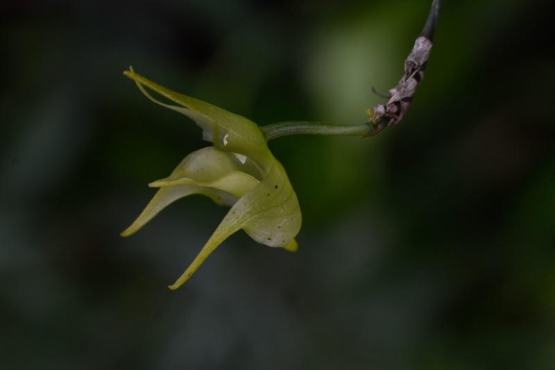 Aeranthes arachnites retardataire Aerant14